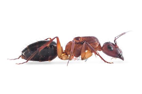 Camponotus Discolour