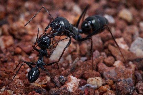 Cataglyphis Iberica - Desert Ant
