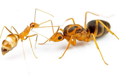 Yellow Crazy Ants - Anoplolepis Gracilipes