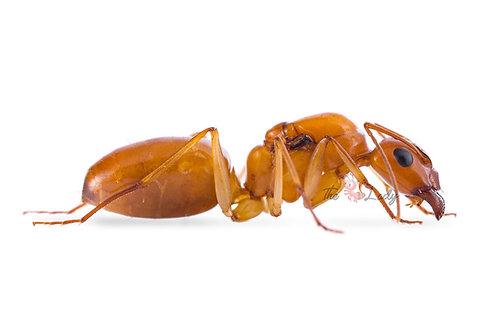 Camponotus Turkestanus - previously Fedtensckoi