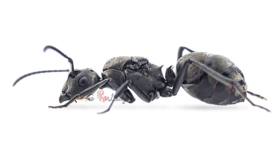 Polyrhacis Dives - Weaver Ants