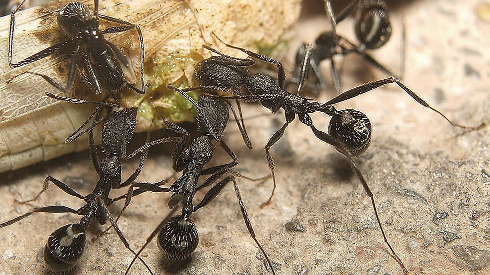 Aphaenogaster iberica