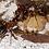 Thumbnail: Formica Sanguine - slave maker ants