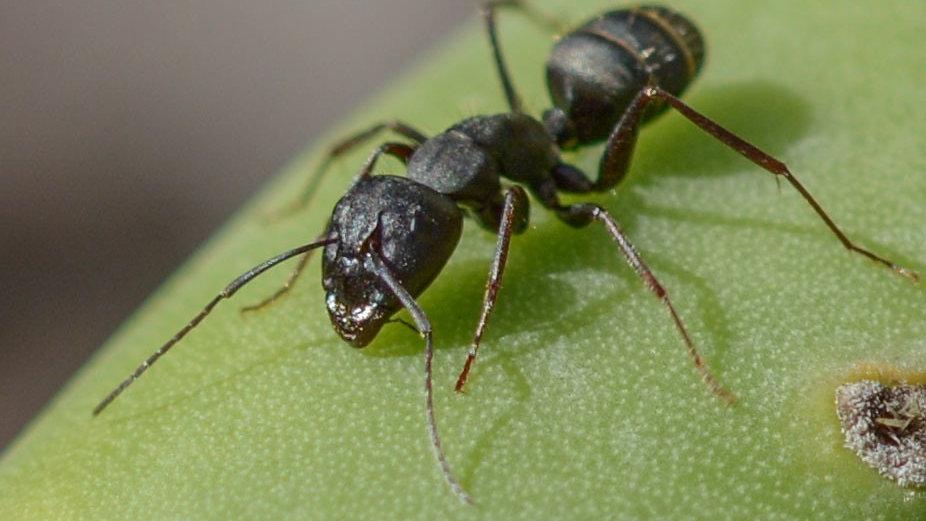 Camponotus Rufoglaucus Feae