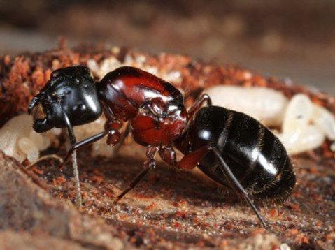 Camponotus Novaeboracensis - The NewYork Carpenter Ant