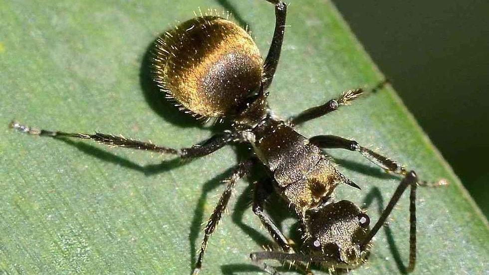 Polyrhachis illaudata