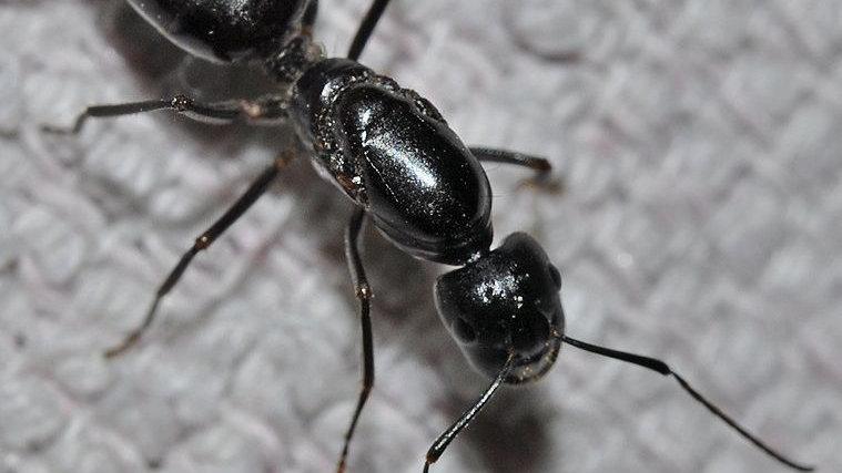 Camponotus Foreli