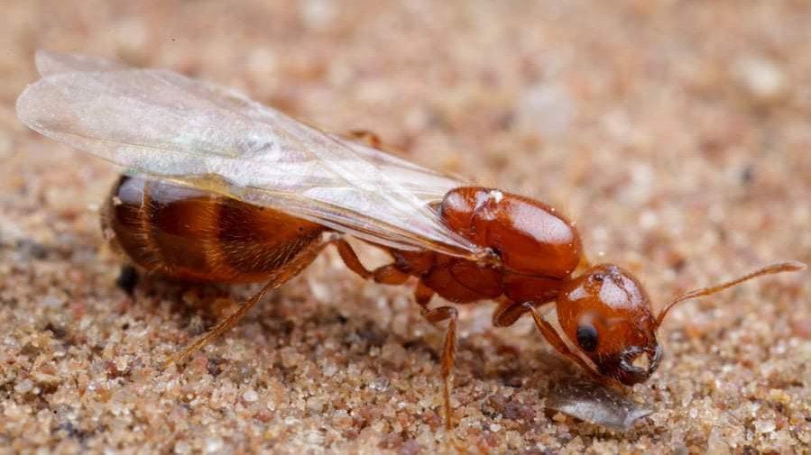 Solenopsis Geminata - Tropical Fire Ant