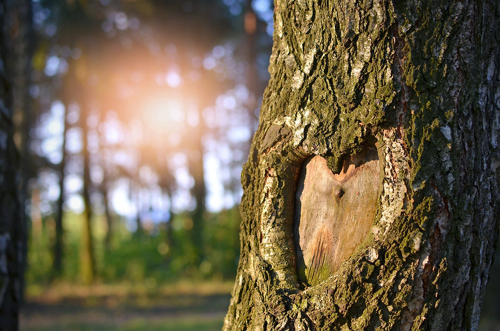 Natural heart formed in the tree trunk.