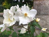 White  rose.jpeg