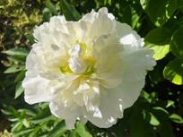 White poppy.jpeg
