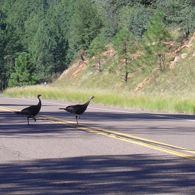 Christopher Creek Turkeys