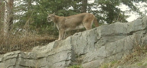 Cougar On The Hunt