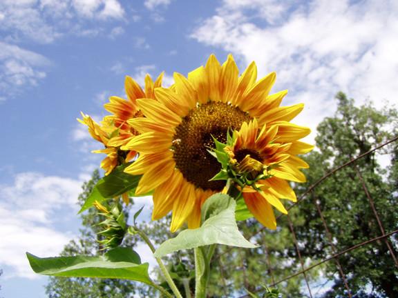 Area Sun Flowerys