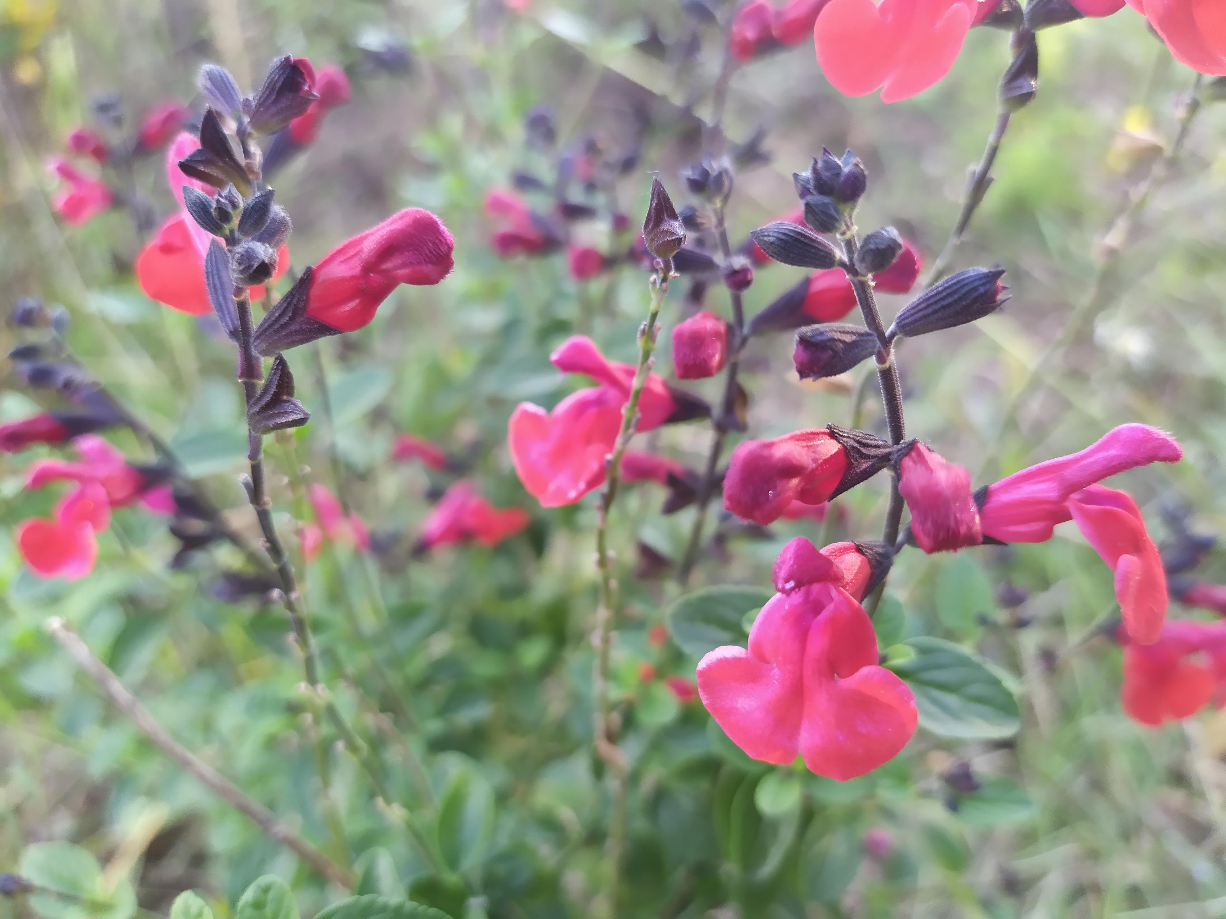 sauge à petites fleurs