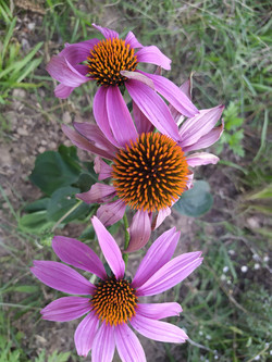 Echinacea purpurea, une belle fleur