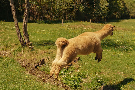 Konzeptberatung Alpakaversum