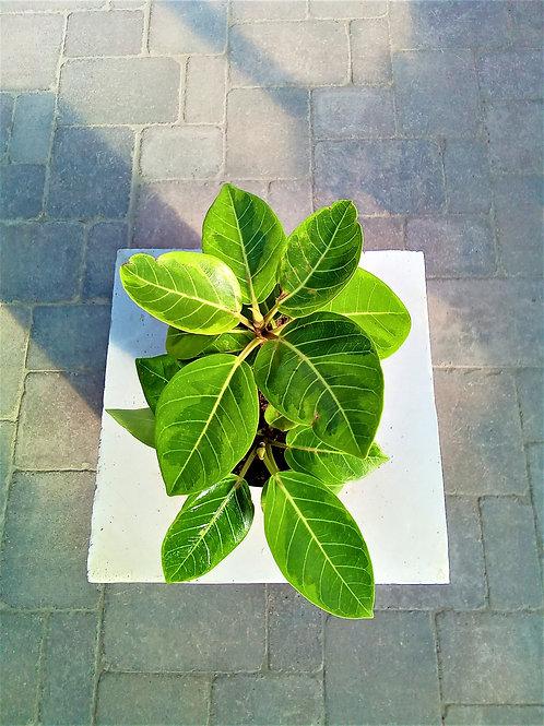 """Ficus - Altissima 6"""""""