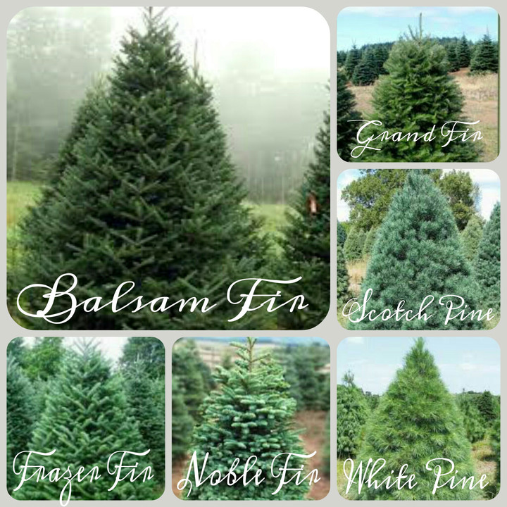 Custom book your families favorite variety of fresh cut Christmas tree!