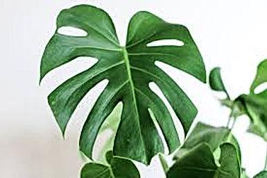 Tropicals/House Plants
