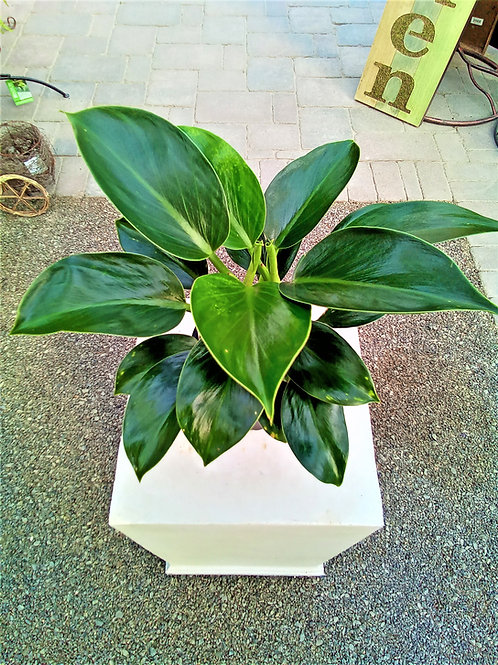 Philodendron - Green Princess 6""