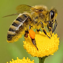 animal-bee-bloom-460961 (2).jpg