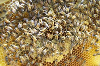 queen-colony-bees.jpg