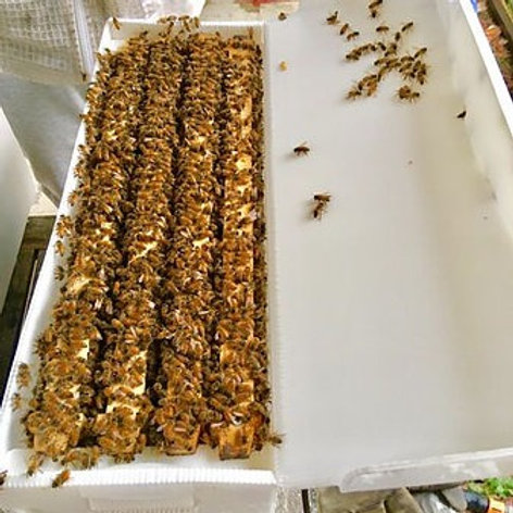 Nucleus beehive: 4 x Langstroth frames with queen + workers bees in corflute box