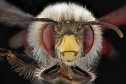 Bee's eyes