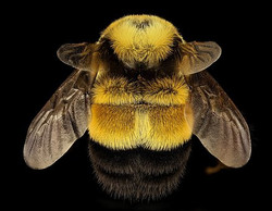Rusty Patched Bumble Bee