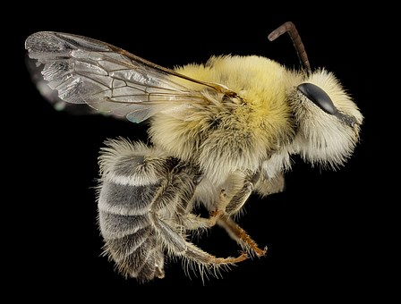 Bearded Bee