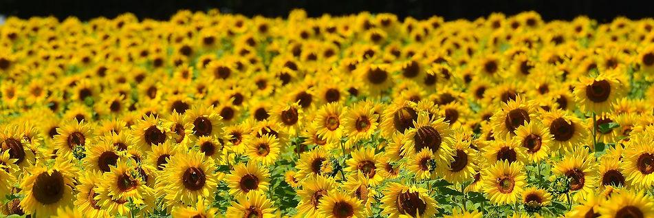 sunflower-1533690_1920.jpg
