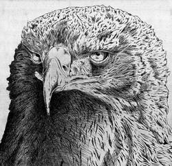 Golden Eagle Head