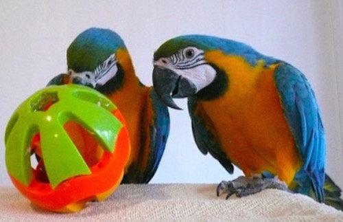 Birdtalk Bird Toys - Macaw Roller Ball