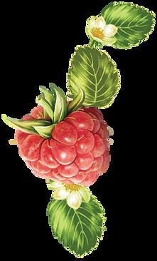 Lins-Farm-raspberry.png