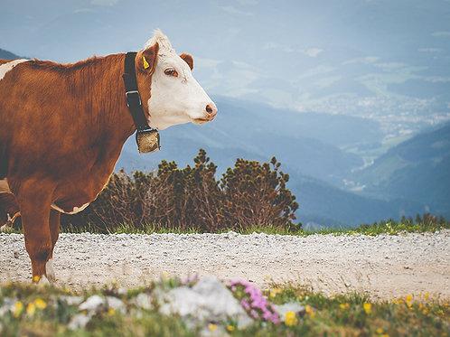 Alpen-Kuh