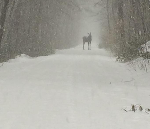 Moose on Trail. Mason Rail Trail
