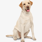 71-712562_labrador-retriever-perro-labra