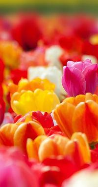 tulip-1375724_1920.jpg