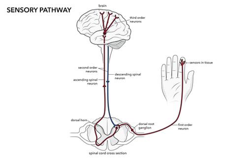 Sensory Pathway