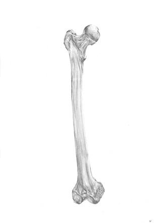 Femur. Pencil on paper.