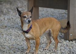 Chihuahua cross