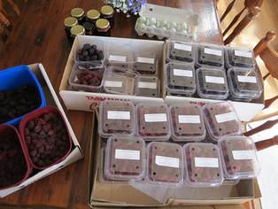 Picking Cherries & Berries