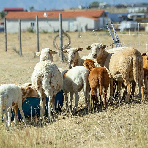 Grassfed Lamb - whole lamb