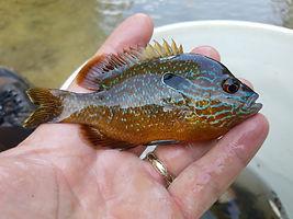 Longear Sunfish.jpg