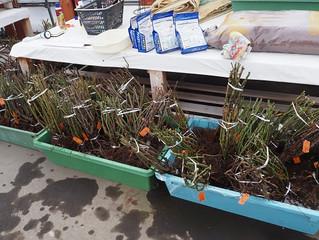 バラ苗の鉢植え作業