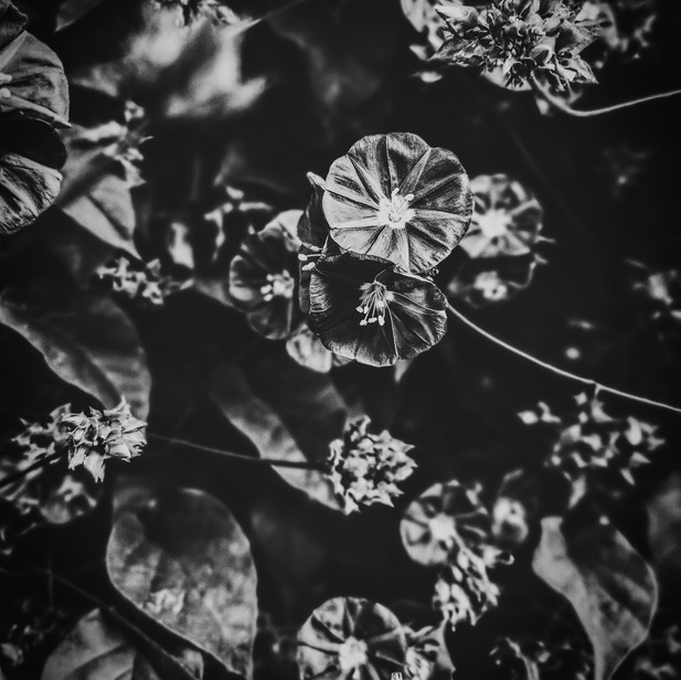 FLORA IN BLACK AND WHITE 1