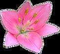 Pretty Pink Lily