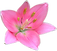 Bastante rosa del lirio