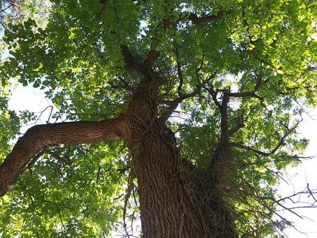 Salute a Tree 2.0 - #savetheash